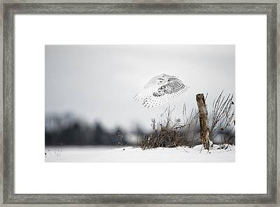 Snowy Owl Pictures 24 Framed Print