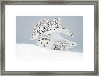 Snowy Owl Pictures 25 Framed Print