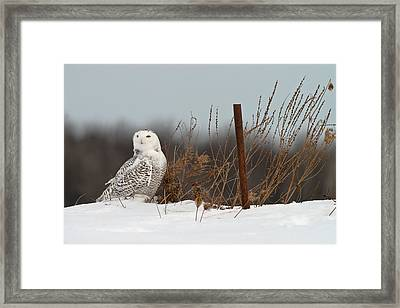 Snowy Owl Pictures 3 Framed Print