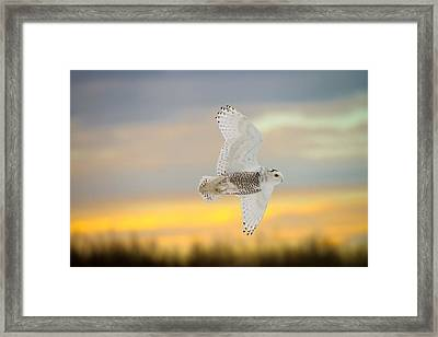 Snowy Owl Pictures 4 Framed Print