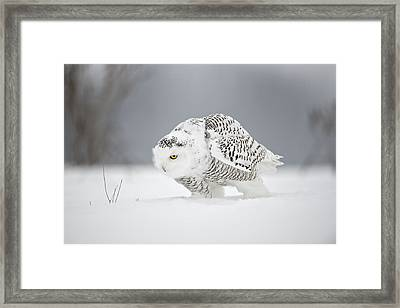 Snowy Owl Pictures 20 Framed Print