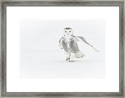 Snowy Owl Pictures 21 Framed Print