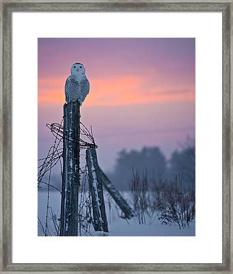 Snowy Owl Pictures 5 Framed Print