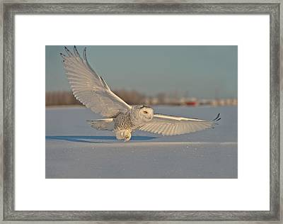 Snowy Owl Pictures 6 Framed Print