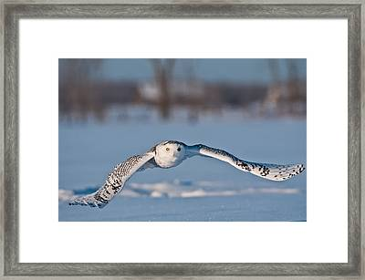 Snowy Owl Pictures 8 Framed Print