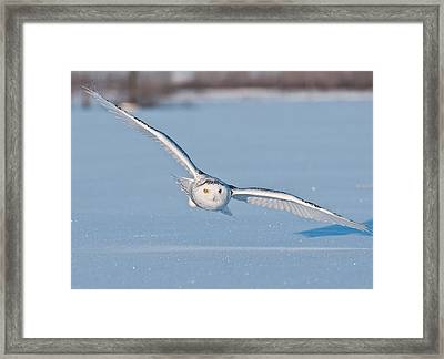 Snowy Owl Pictures 9 Framed Print