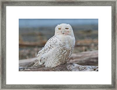 Snowy Owl Watching From A Driftwood Perch Framed Print