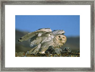 Snowy Owl With Chicks Framed Print