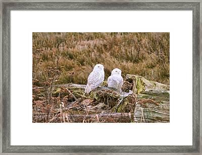 Snowy Owls At Boundary Bay Framed Print