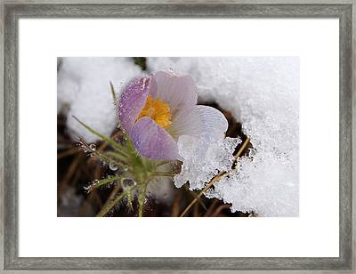Snowy Pasqueflower Framed Print