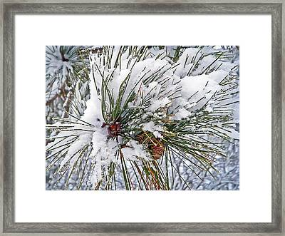 Snowy Pine Framed Print by Aimee L Maher Photography and Art Visit ALMGallerydotcom