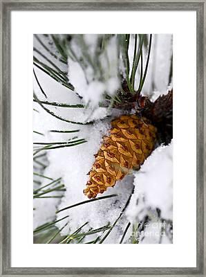 Snowy Pine Cone Framed Print by Elena Elisseeva