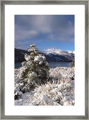 Snowy Pine  Framed Print