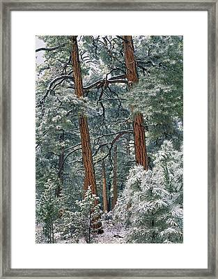 Snowy Ponderosa Pines Framed Print by Tim Fitzharris