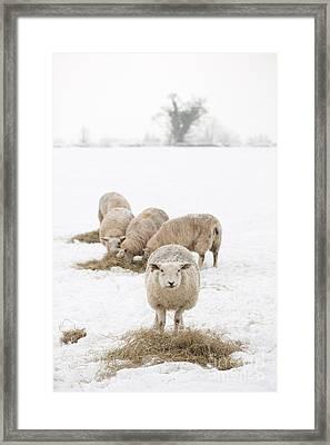 Snowy Sheep Framed Print by Anne Gilbert