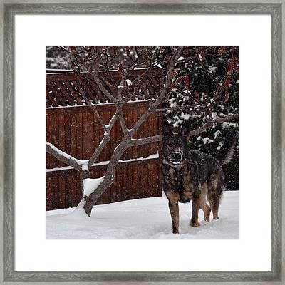 Snowy Shepherd Framed Print by Nikki McInnes
