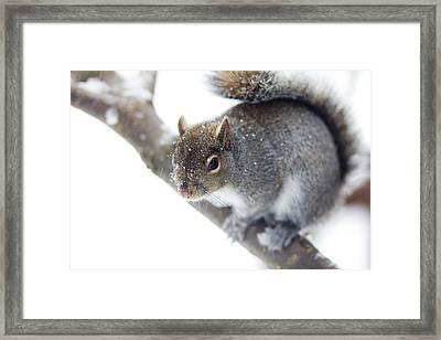 Snowy Squirrel Framed Print by Shane Holsclaw