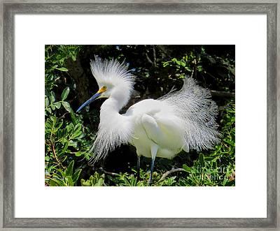 Snowy White Egret Breeding Plumage Framed Print