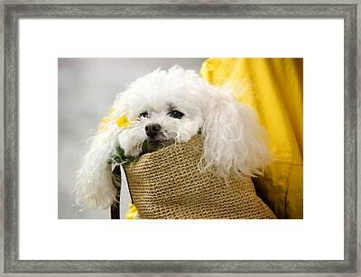 Snuggled Poodle Dog Framed Print by Donna Doherty