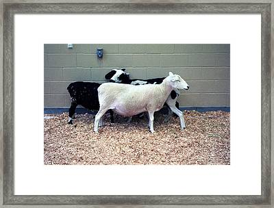 Framed Print featuring the photograph Snuggling Goats by Philomena Zito