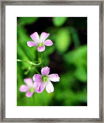 So Delicate In Purple. Texas Spring Perennial Framed Print