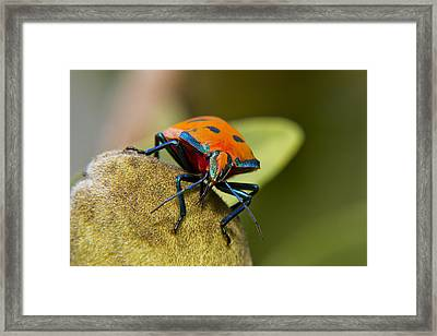 So Shy 01 Framed Print by Kevin Chippindall