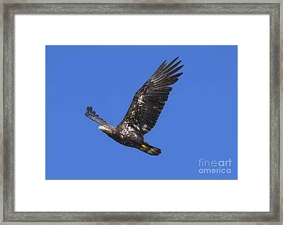 Soar Like An Eagle Framed Print