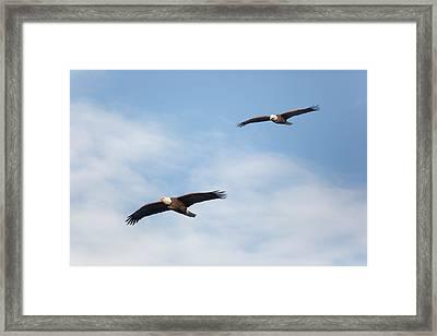 Soaring Bald Eagles Framed Print by Bill Wakeley