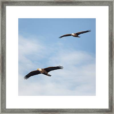 Soaring Bald Eagles Square Framed Print by Bill Wakeley