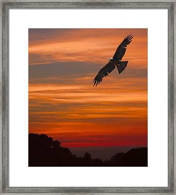 Soaring Bird Of Prey Framed Print by Daniel Hagerman