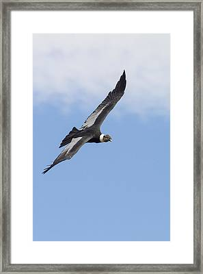 Soaring Condor Framed Print by Tim Grams