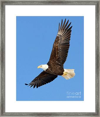 Soaring Eagle Framed Print