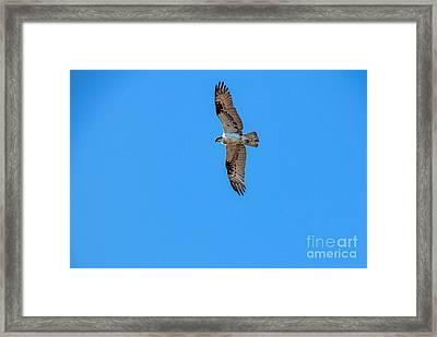 Soaring Osprey Framed Print