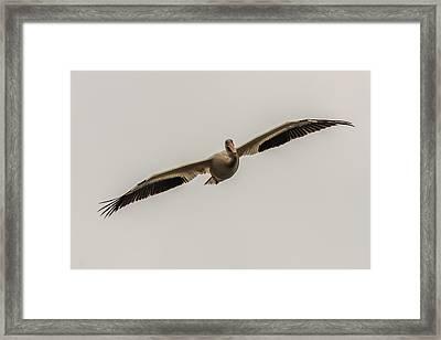 Soaring Pelican Framed Print by Paul Freidlund