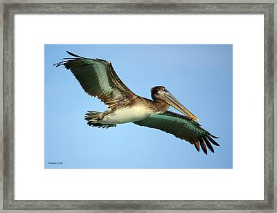 Framed Print featuring the photograph Soaring Pelican by Suzanne Stout