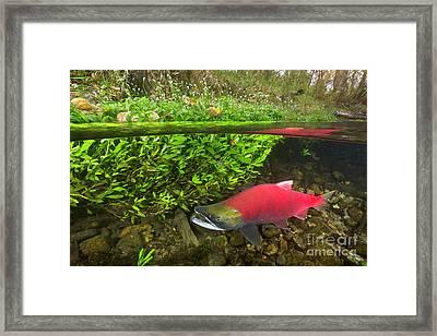 Sockeye Salmon Migrating Framed Print by Yva Momatiuk John Eastcott