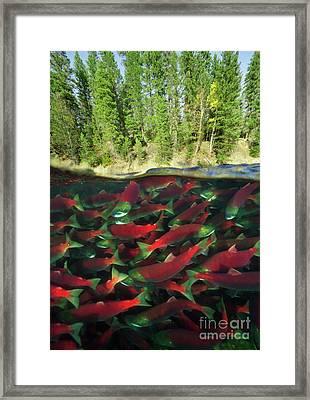 Sockeye Salmon Run Framed Print by Yva Momatiuk John Eastcott