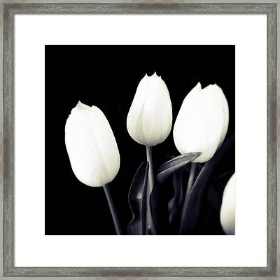 Soft And Bright White Tulips Black Background Framed Print