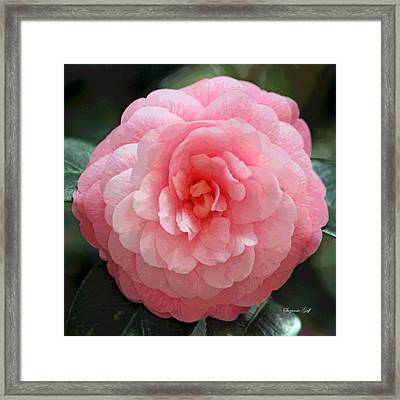 Soft And Pink Framed Print by Suzanne Gaff