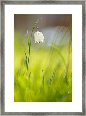 Soft Awakenings - White Chess Flower Framed Print
