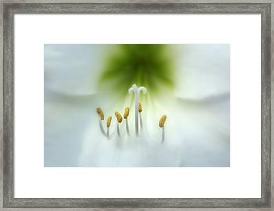 Soft Beauty Framed Print by Lynn Sprowl