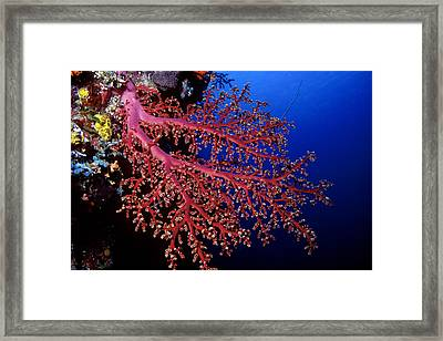 Soft Coral Framed Print