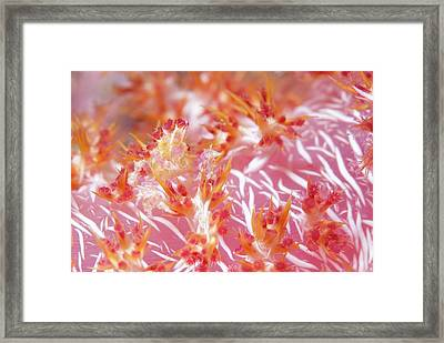 Soft Coral Crab Hidden On Soft Coral Framed Print by Scubazoo