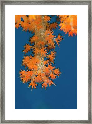 Soft Coral (dendronephthya Framed Print by Pete Oxford