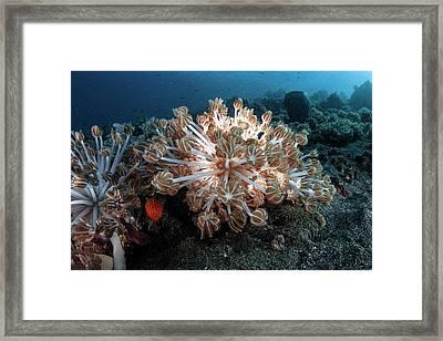 Soft Coral Framed Print by Ethan Daniels