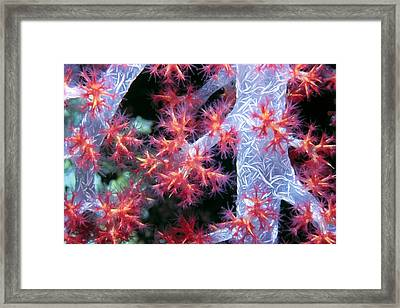 Soft Corals 18 Framed Print