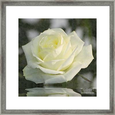 Soft Cream Rose Framed Print