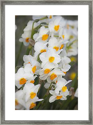 Soft Daffodils Framed Print by Garry Gay