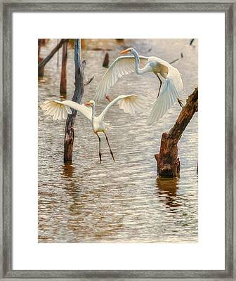 Soft Landing Two Egrets Framed Print
