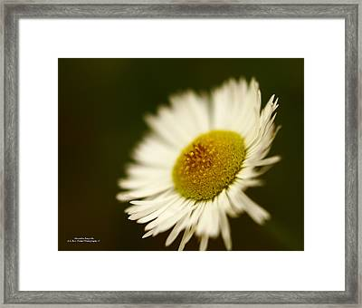 Soft Lighted Daisy Framed Print by Alexandra  Rampolla